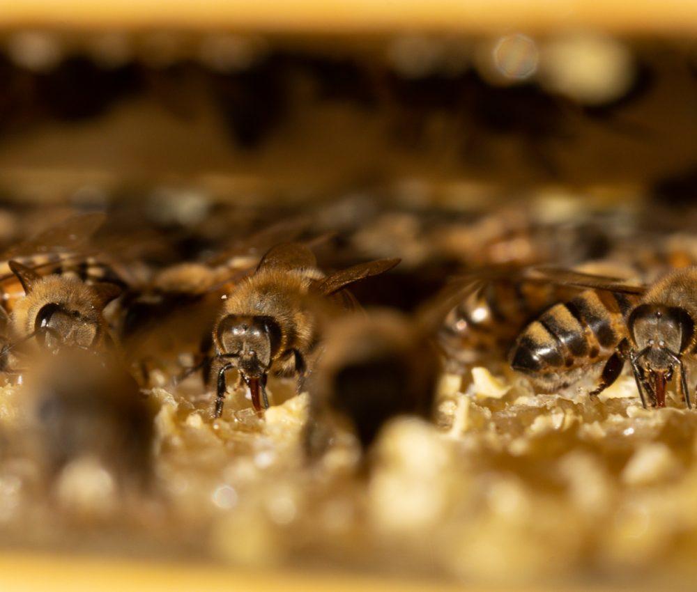 Macro apiculteur Damien Soubeyrand Macro abeille Drôme Ardèche Miel